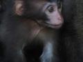 Baby macaque