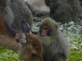 Yakushima deer & macaque