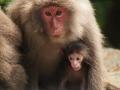 Yakushima  macaque mother & baby