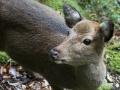 Yakushima deer