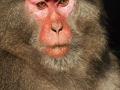 Yakushima  macaque